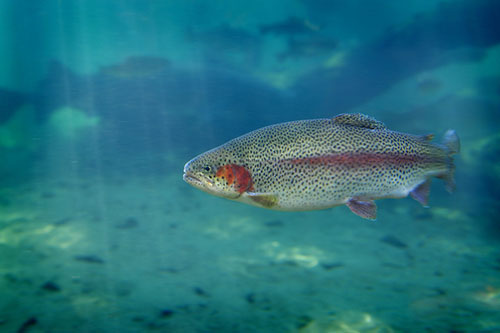 Rainbow Trout Swimming