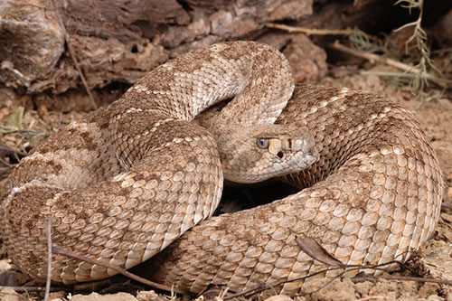 A rattlesnake coiled up.