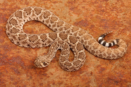 A rattlesnake on a dusty orange background.