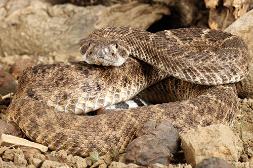A rattlesnake among rocks.
