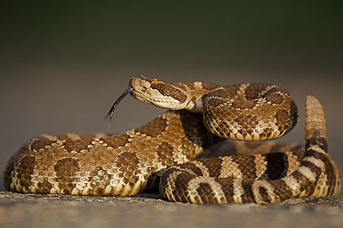 Photo of a western diamondback rattlesnake with tail clearly visible.