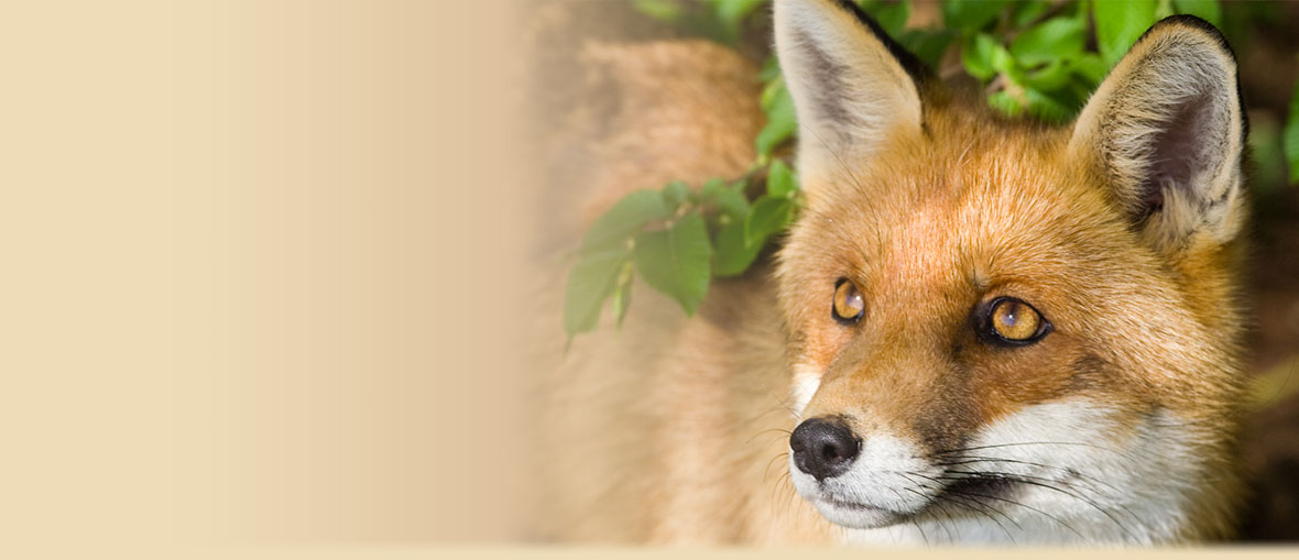 Red Fox Facts, Information, Habitat, and Photos from American Expedition.