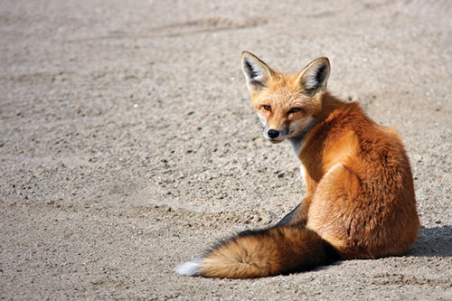 American Red Fox Facts: A red fox shown sitting on sand with its tail visible