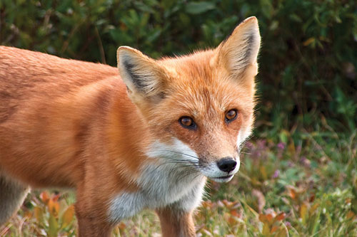 American Red Fox Photos: Close up of a red fox.