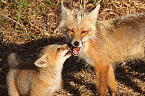 American Red Fox Information: A red fox being licked by its pup.