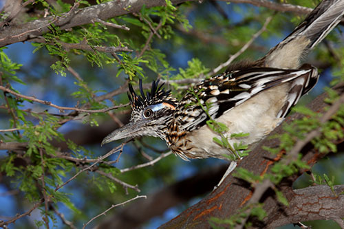 Roadrunner in a tree.