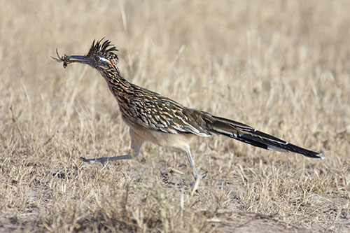 A roadrunner with a spider in its beak.