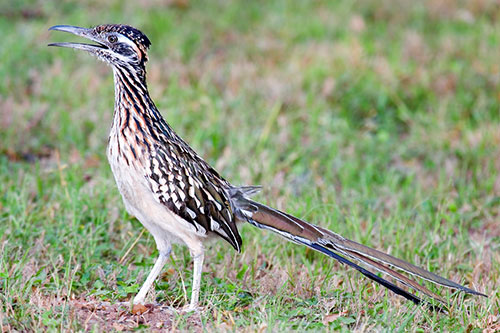 Roadrunner Facts, Photos, and Information