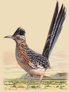 roadrunner facts photos and information american expedition