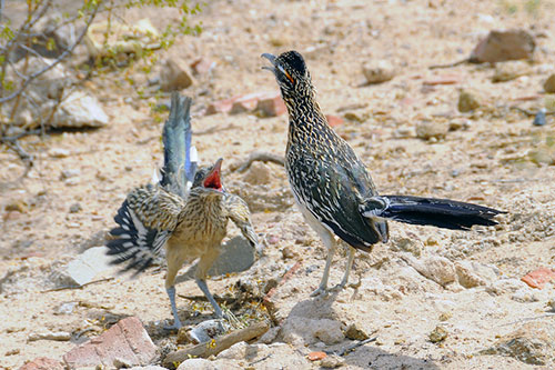 2 roadrunners in courting behavior.
