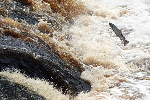 Salmon fighting its way upstream