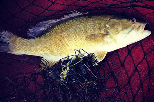 Photo of a smallmouth bass with a net.