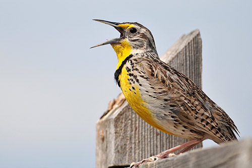 Western Meadowlark on a fence