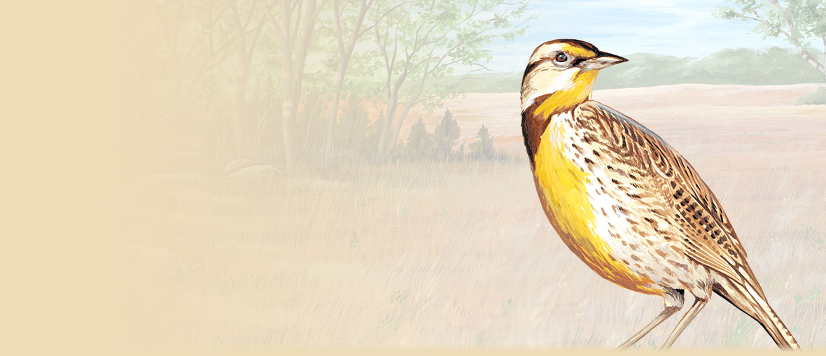 Western Meadowlark Facts, Information, and Photos from American Expedition.