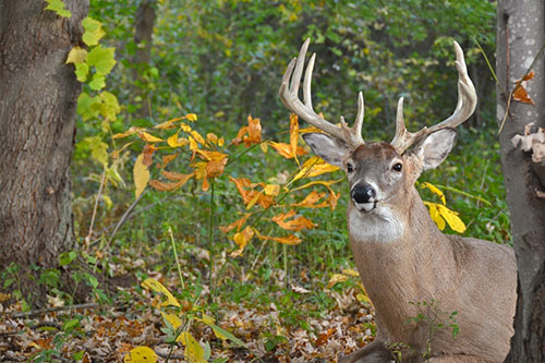 A whitetail deer buck resting in the autumn.