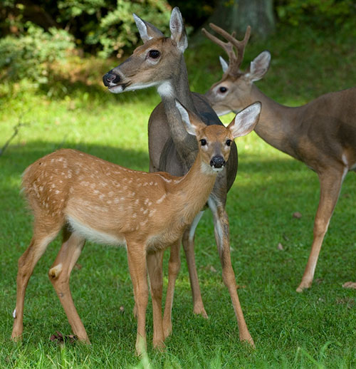Whitetail Deer Information