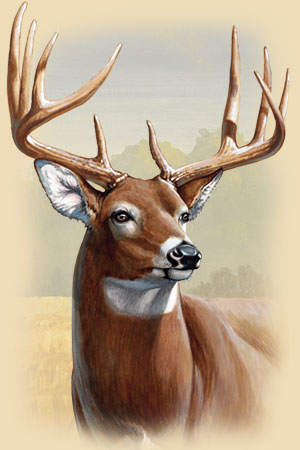 Painting of a Whitetail Deer buck's head