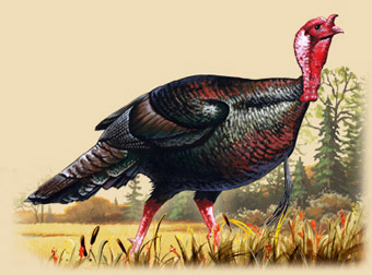 Artwork of a turkey strutting.