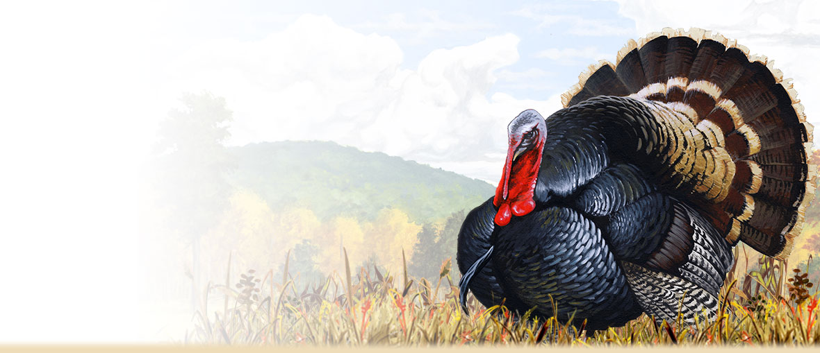 Wild Turkey Facts, Trivia, Information, Habitat, and Photos