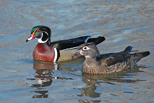 Image result for wood duck