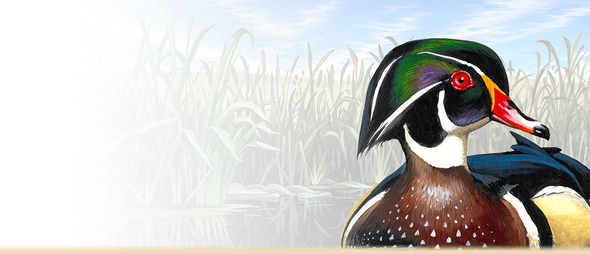Wood duck facts, information, habitat, and tips for hunting Wood Ducks.
