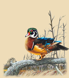 Painting of a wood duck standing on a log.