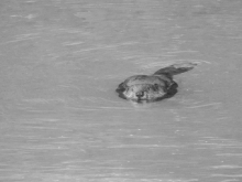 Beaver in the Creek