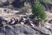 Bighorn Sheep at Lake Roosevelt