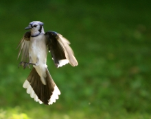 Blue Jay Caught in Mid Flight