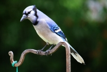 Blue Jay Picture