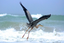 California Heron Probing for Sand Crabs