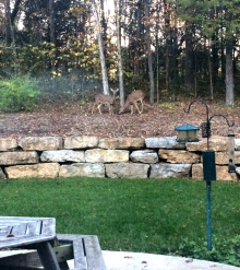 Deer Visitors
