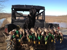 Duck Hunting Lab with 4,200+ Retrieves