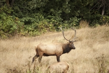 Elk 5 - California