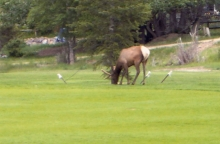 Elk Takes Over Golf Course!