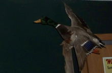 Flying Mallard Mount