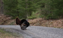 Gobbler on the Mountain Road