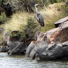 Great Blue Heron at Sagauro Lake