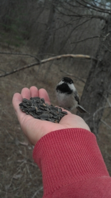 Hand Feeding Chickadees