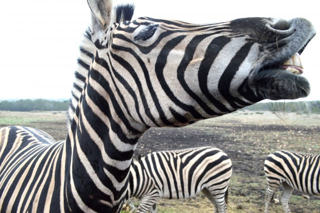 Hangin' with the Zebras