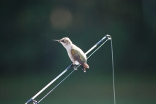 Hummingbird on Fishing Pole