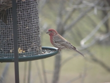 Hungry House Finch