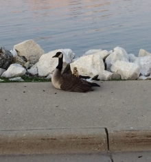 Lake Michigan Goose