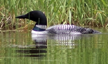 Loon Watching in Maine