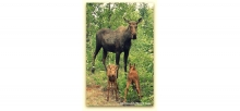 Mama Moose with Twins