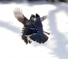 Mirror Image Bluejays