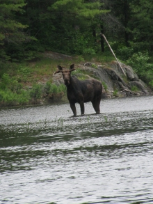 Moose in the Wilderness