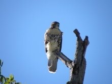 Red-tailed Hawk Sighting