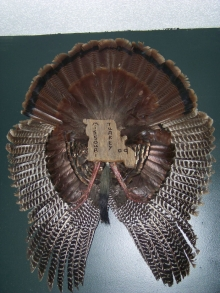 Turkey Mount