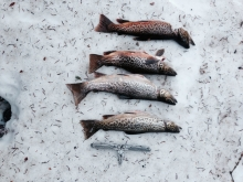 Uinta Mountains Trout